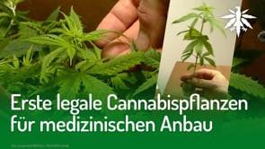 Erste legale Cannabispflanzen für medizinischen Anbau | DHV-Audio-News #270